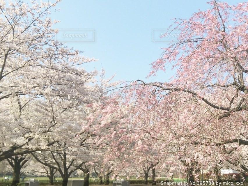 自然,公園,花,桜,青空,光,木場公園,flower,休日,さくら