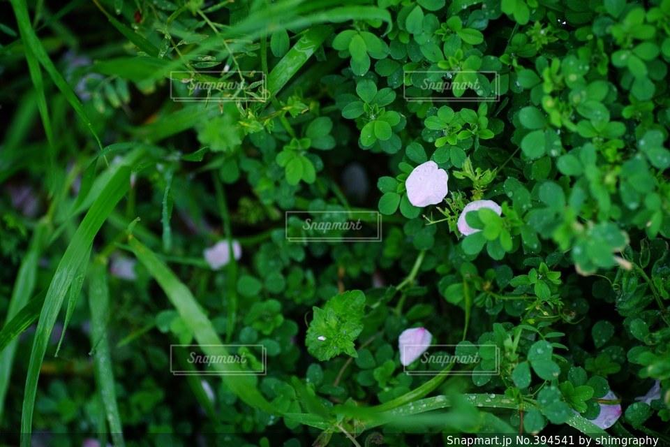 自然,風景,花,春,桜,緑,植物,葉,花びら,サクラ,新緑,リラックス,癒し,flower,グリーン,Green,Spring,さくら,自然風景