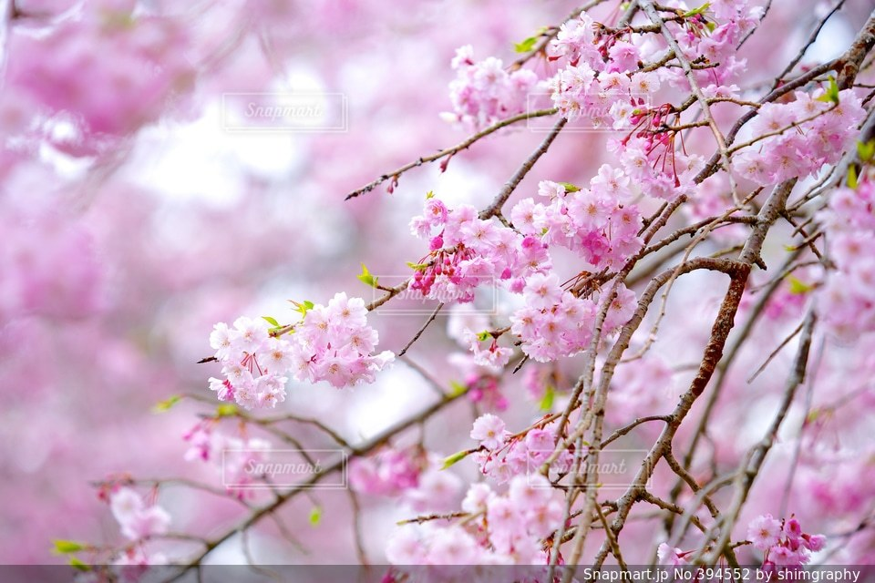 自然,風景,花,春,桜,ピンク,植物,葉,花びら,サクラ,癒し,flower,pink,Spring,さくら,自然風景