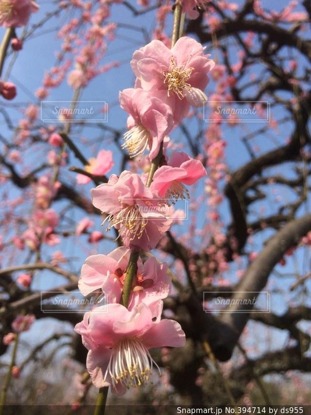 自然,春,ピンク,クローズアップ,キレイ,しだれ梅