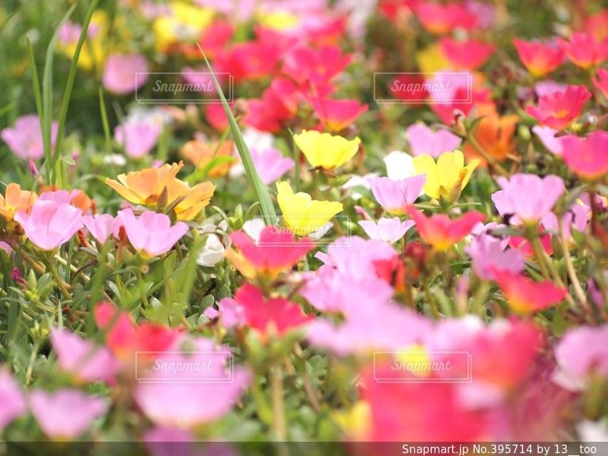 自然,花,かわいい,カラフル,日常,日本,お散歩