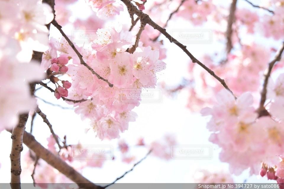 自然,花,春,桜,ピンク,日本,蕾,flower,japan,pink,Spring,photo,cherryblossom,photography