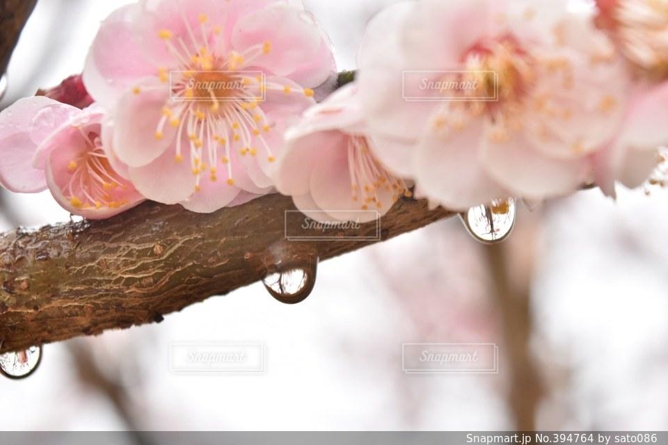自然,花,春,雨,ピンク,梅,水滴,反射,日本,rain,flower,japan,pink,Spring,photo,photography