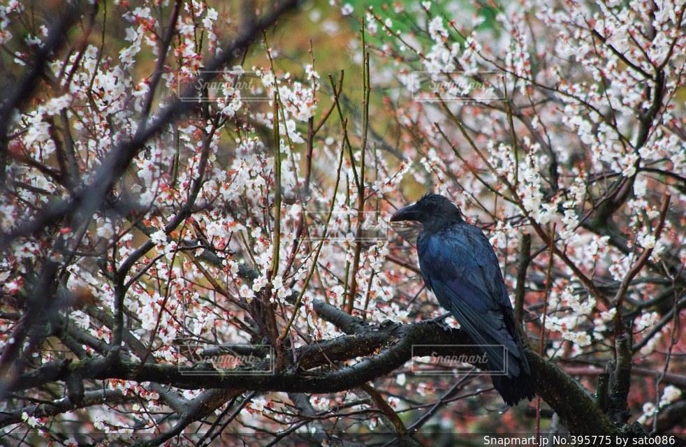 自然,鳥,梅,日本,和,japan,bird,photo,カラス,photography,crow