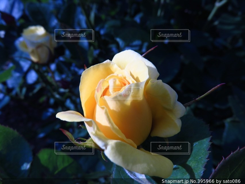 自然,花,黄色,バラ,薔薇,日本,flower,japan,rose,yellow,photo,photography