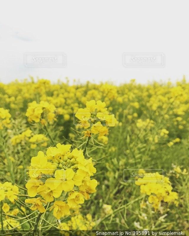 春,黄色,菜の花,お花,菜の花畑
