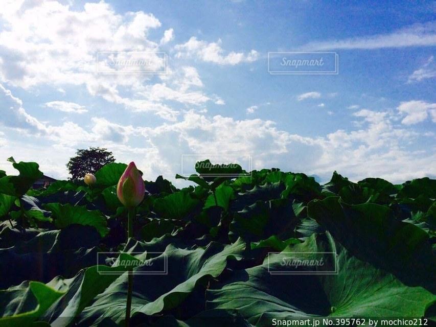 自然,空,夏,緑,雲,晴れ,青空,晴天,青,夕方,蓮,蕾,長野,帰省,気持ちいい,蓮の葉