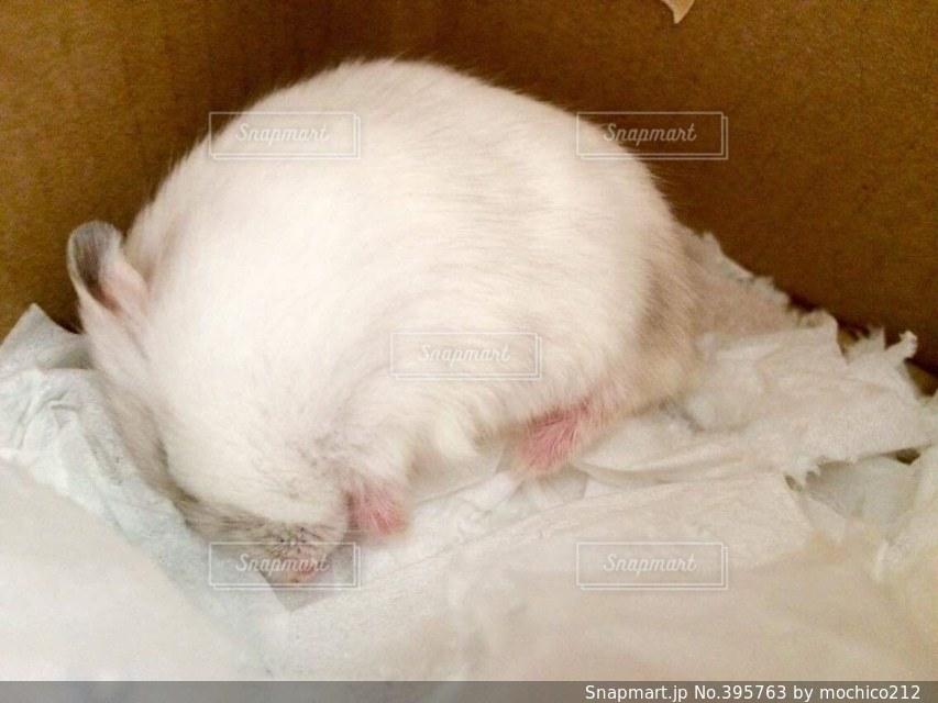 動物,ハムスター,白,寝顔,癒し,可愛い,ティッシュ,寝てる,眠い,ジャンガリアン,ダンボール,仮眠,ホワイトスノー