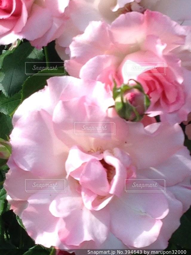 公園,花,春,ピンク,植物,バラ,花見,鮮やか,薔薇,お花見,キラキラ,可愛い,恋,淡い,おしゃれ,ピンクの薔薇