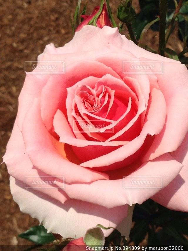 犬,カフェ,海,公園,花,春,ピンク,赤,バラ,花見,いちご,薔薇,果物,人,キラキラ,芸術,幸せ,おしゃれ,姫,おまじない