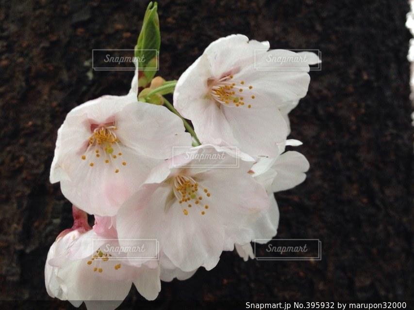 公園,花,桜,季節,お花見,団子