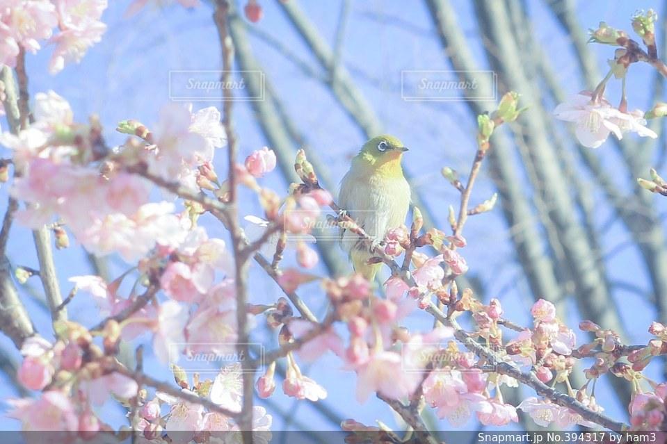空,花,桜,鳥,花見,お花見,野鳥,メジロ,目白