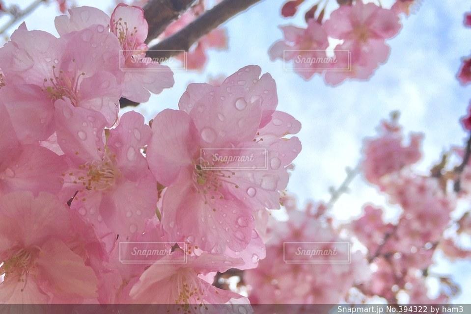 空,花,桜,水滴,花見,お花見,雨上がり