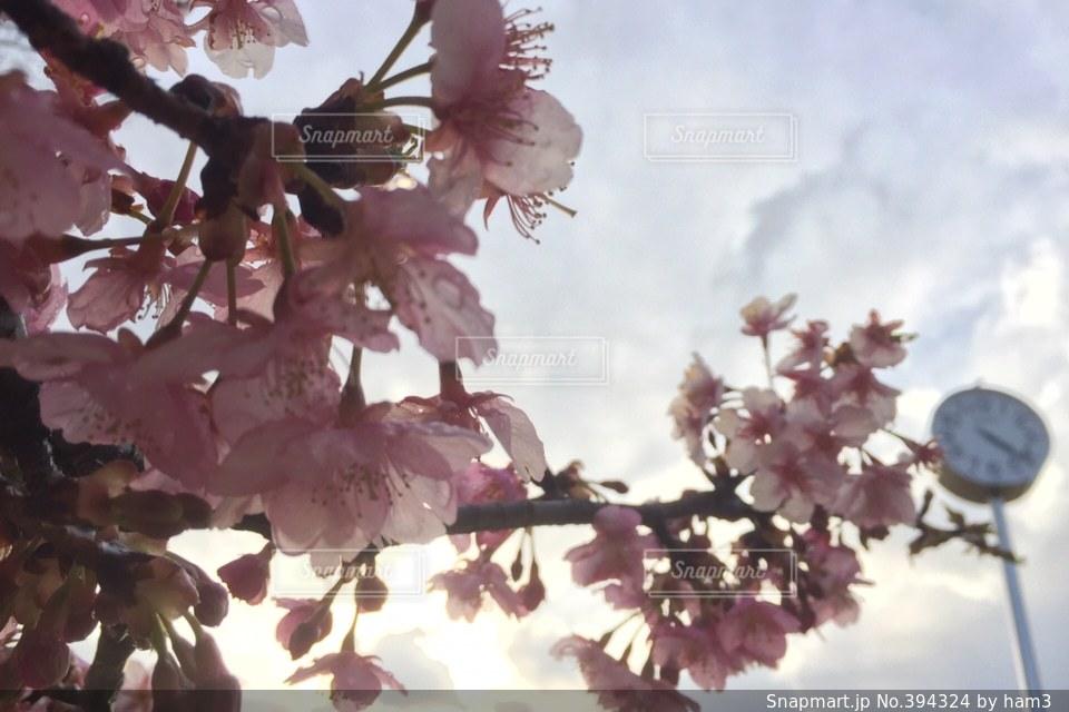 空,花,桜,時計,花見,お花見,待ち合わせ