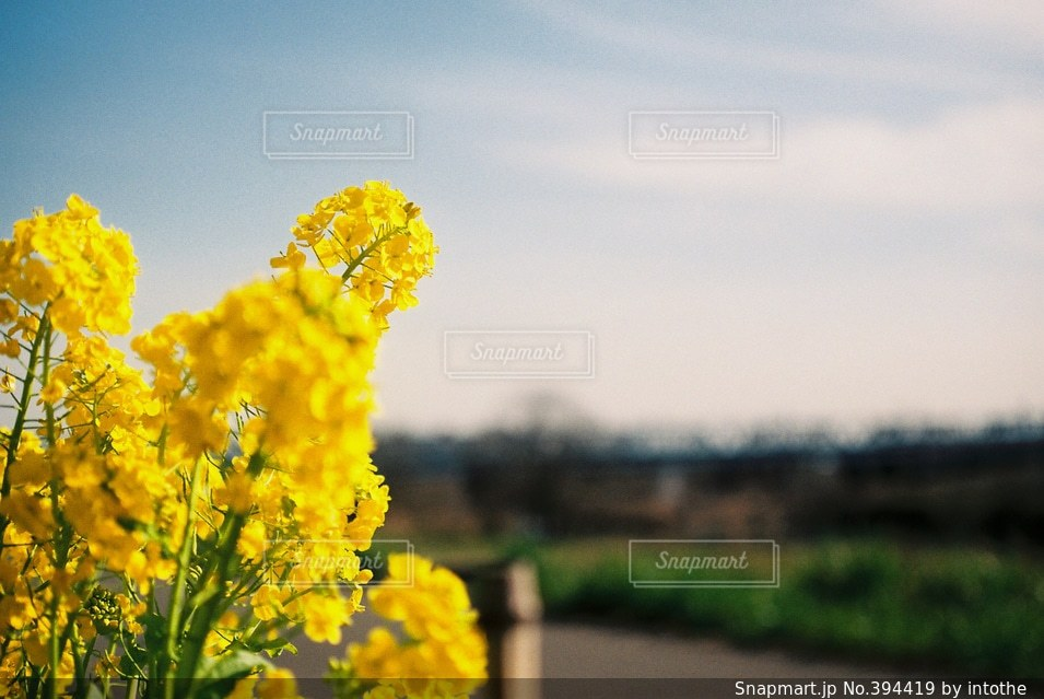 空,公園,花,春,桜,黄色,菜の花,土手