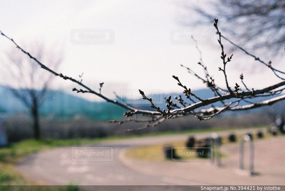 空,公園,春,桜,木,サクラ,ツボミ
