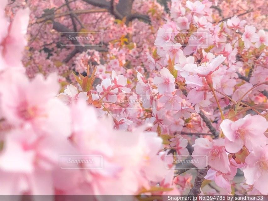 花,春,桜,ピンク,河津桜,さくら,長居公園
