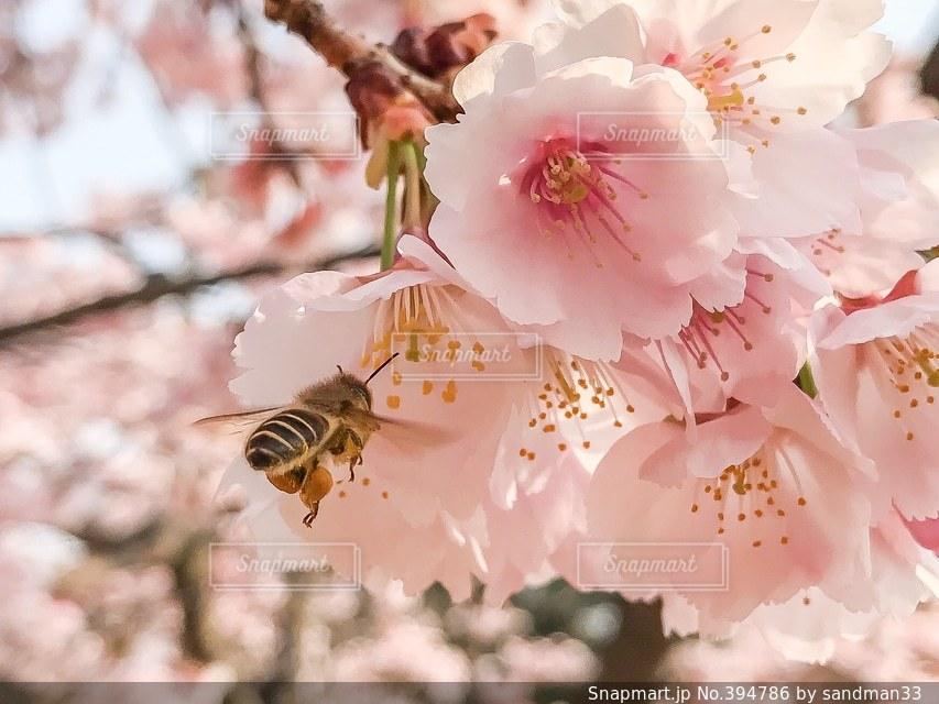 花,春,桜,ピンク,河津桜,蜜蜂,さくら,みつばち,長居公園