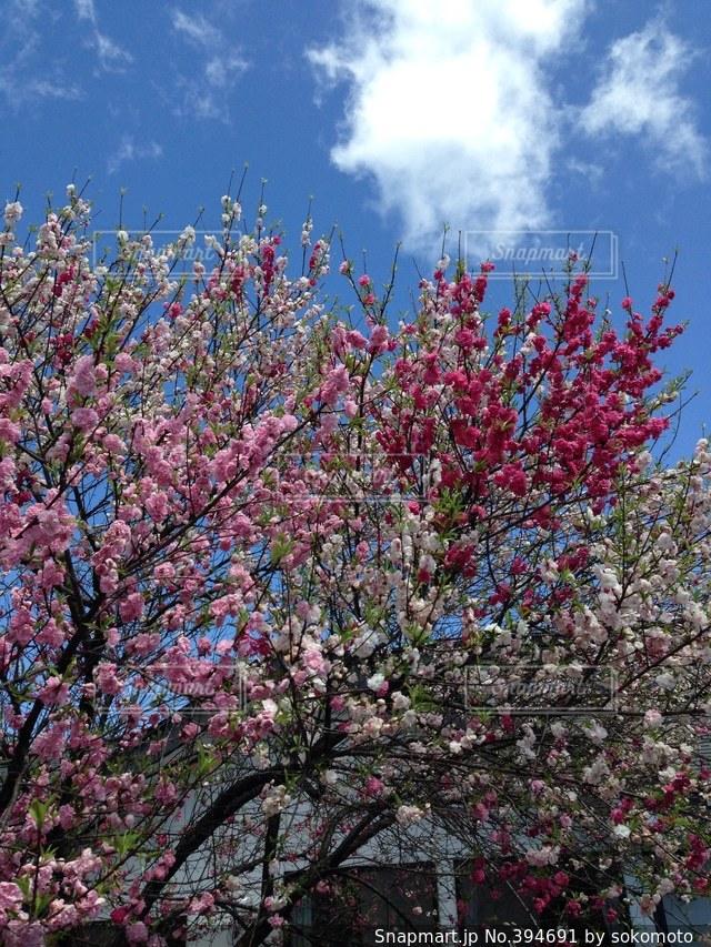 花,春,桜,きれい,綺麗,鮮やか,サクラ,満開,美しい,珍しい,さくら,キレイ