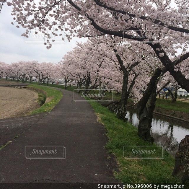 桜,桜並木,お花見,お散歩,さくら