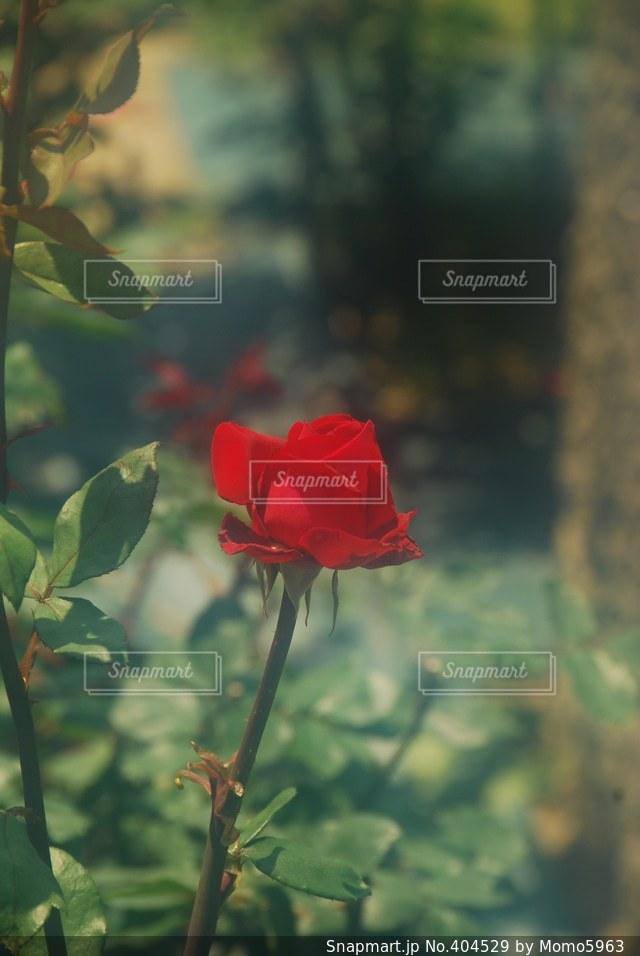 赤,薔薇,元気,バラ園,晴,ポプリ,福岡県,香,美術館庭園