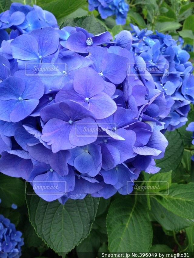 自然,花,あじさい,紫陽花,伊豆,アジサイ