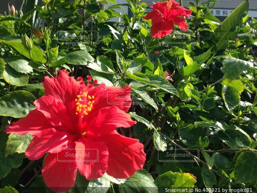 花,南国,赤,ハイビスカス,沖縄