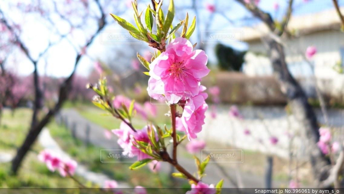 公園,花,春,五分咲き,桃,桃の花,花桃,桃祭り