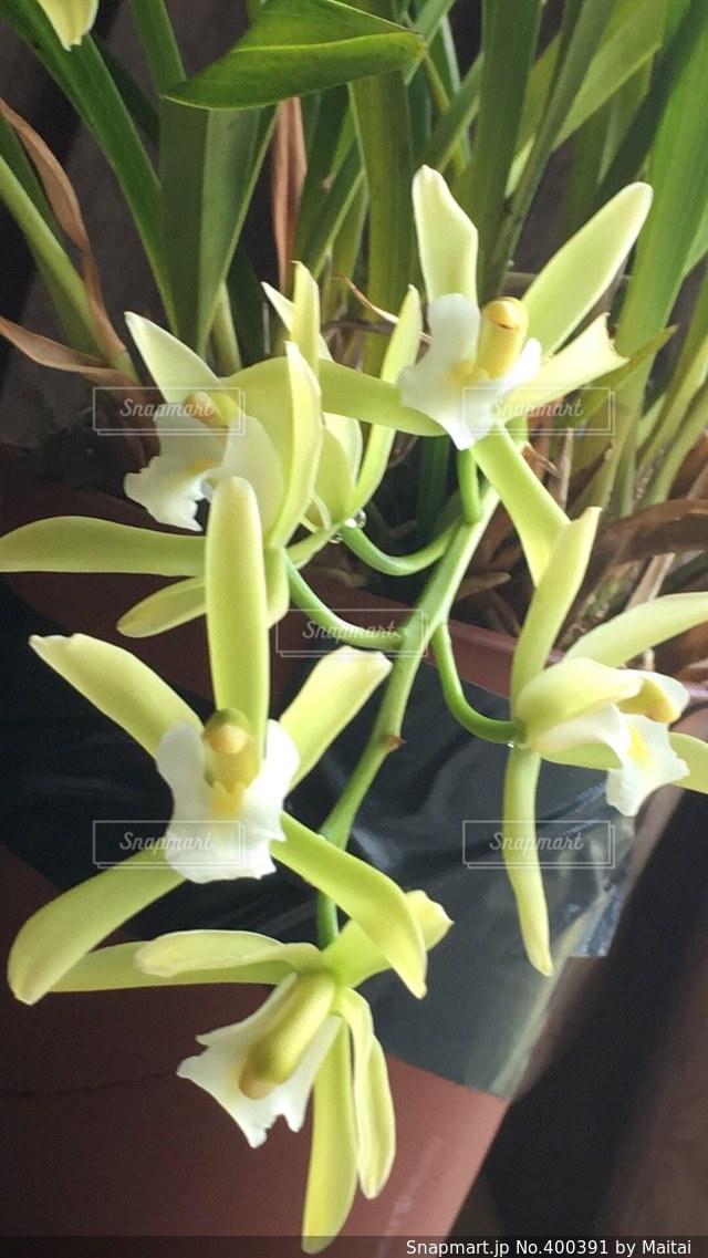 花,黄色,園芸,趣味,蘭,淡黄色