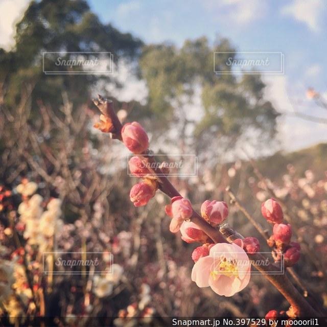 かわいい,梅,梅園,ふっくら,防府天満宮