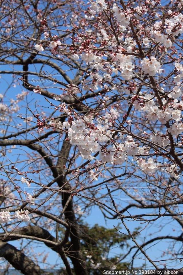 風景,春,桜