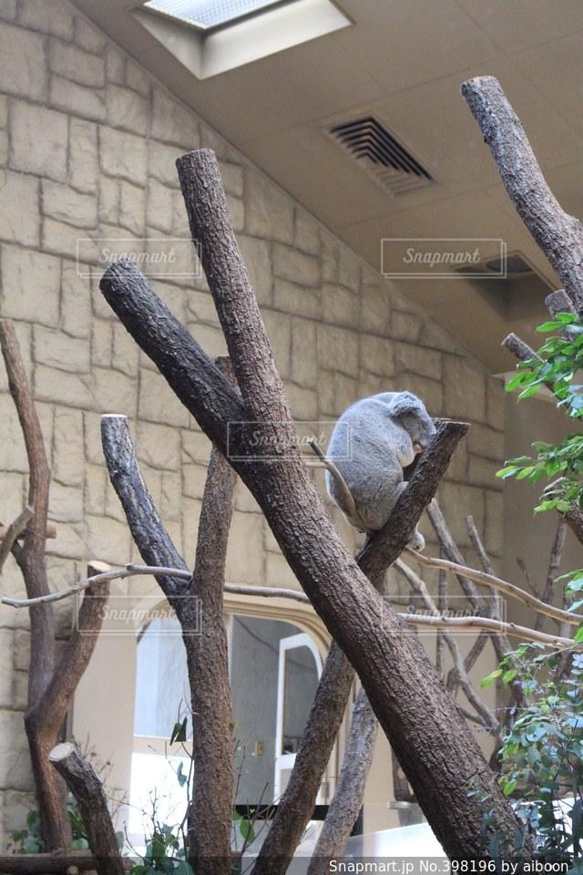 動物,可愛い,コアラ