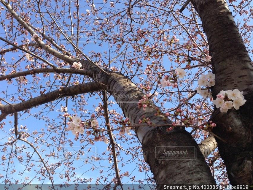風景,空,公園,春,桜,木,植物,さくら