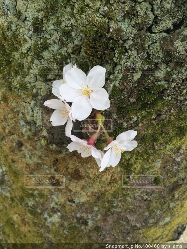 自然,花,春,桜,木,金沢