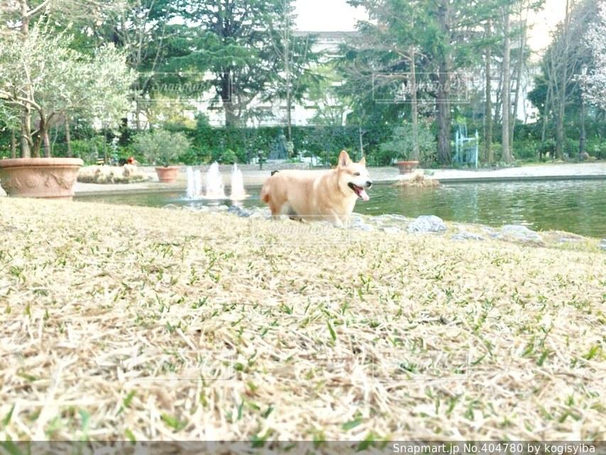 犬,公園,芝生,水,散歩,池,楽しい,ペット,可愛い,コーギー,愛犬,mix,帰り道,ミックス,柴,短足,寄り道,胴長