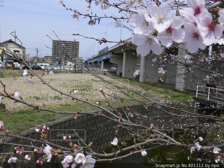 風景,春,桜,田舎,サクラ,田んぼ,さくら