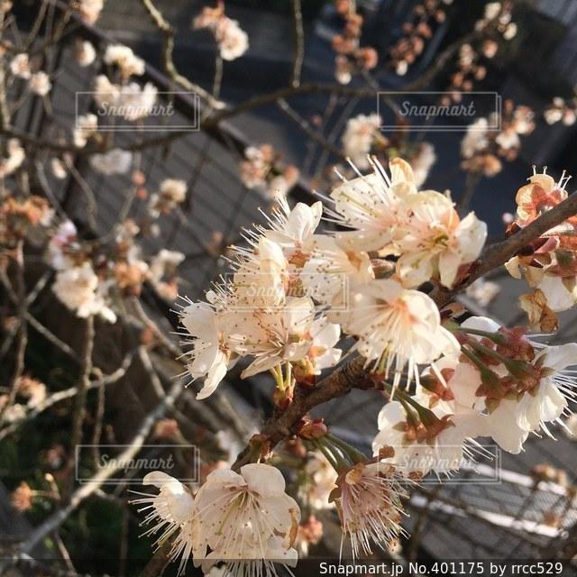 自然,花,桜,木,庭,サクラ,さくら,開花