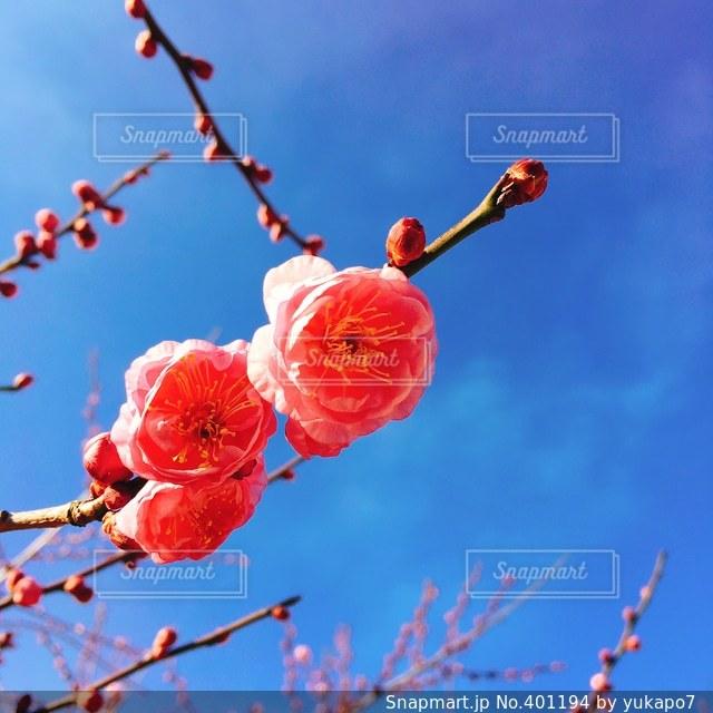 花,春,梅,青空,梅干し