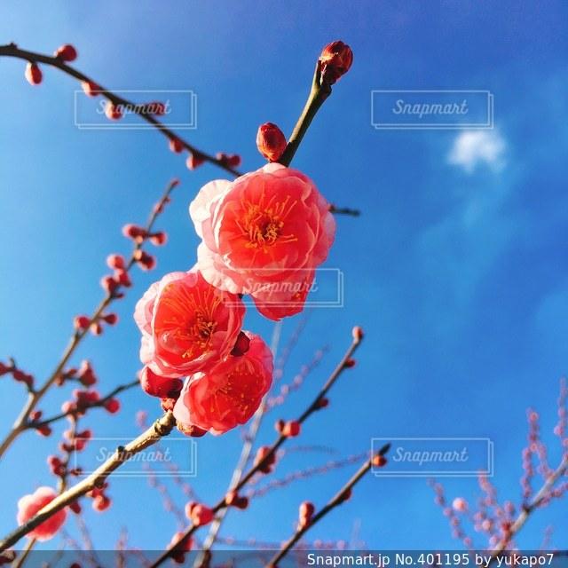 花,春,梅,青空,香り