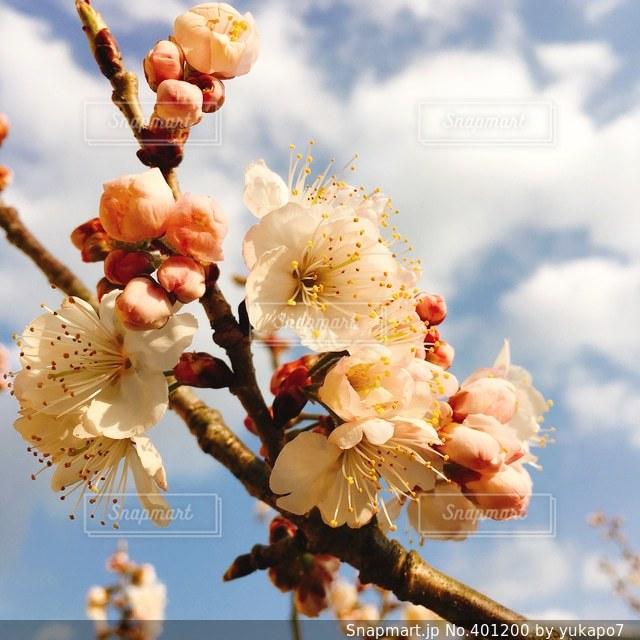 花,春,桜,庭,さくらんぼ