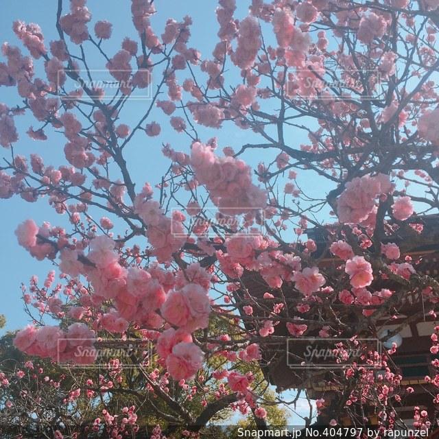 花,ピンク,梅,青空,福岡,太宰府,うめ
