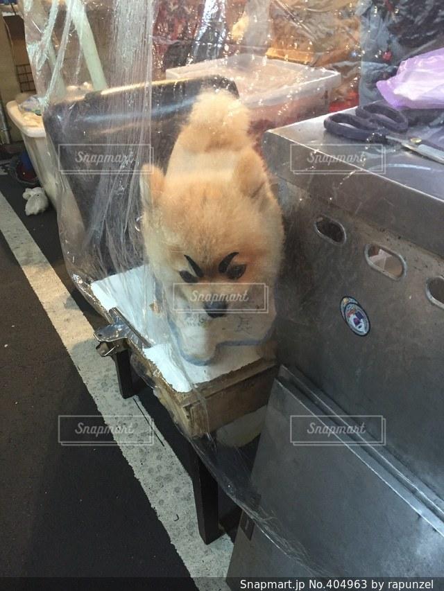 犬,ポメラニアン,海外,旅行,台湾,夜市,台北,まゆげ,看板犬,店長,店番