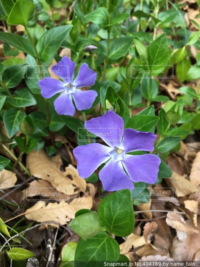 花,紫,東京都,野草,ムラサキ,府中市
