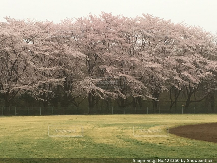 桜の写真・画像素材[423360]