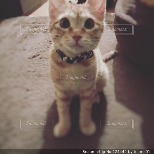 猫の写真・画像素材[424442]
