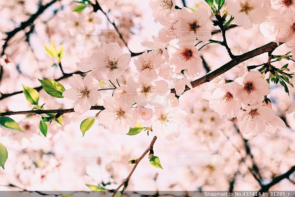 春 - No.437414