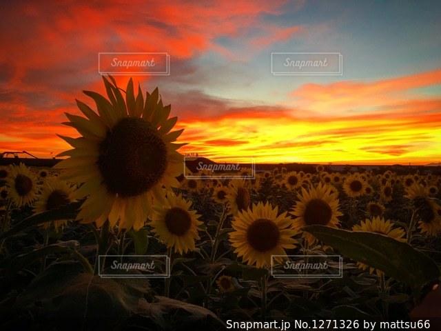 ひまわり畑と夕焼けの写真・画像素材[1271326]