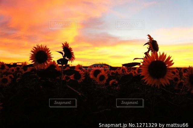 ひまわりと夕焼けの写真・画像素材[1271329]