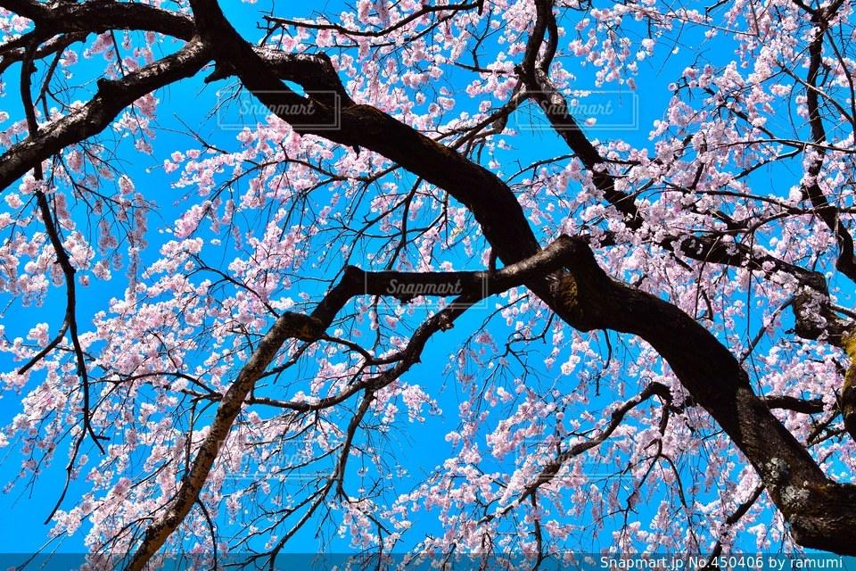 No.450406 桜