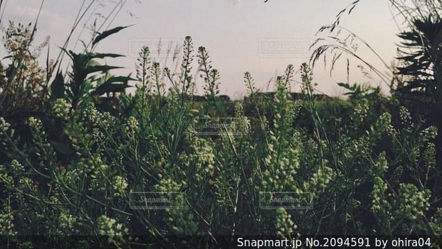 河川敷の草むらの写真・画像素材[2094591]